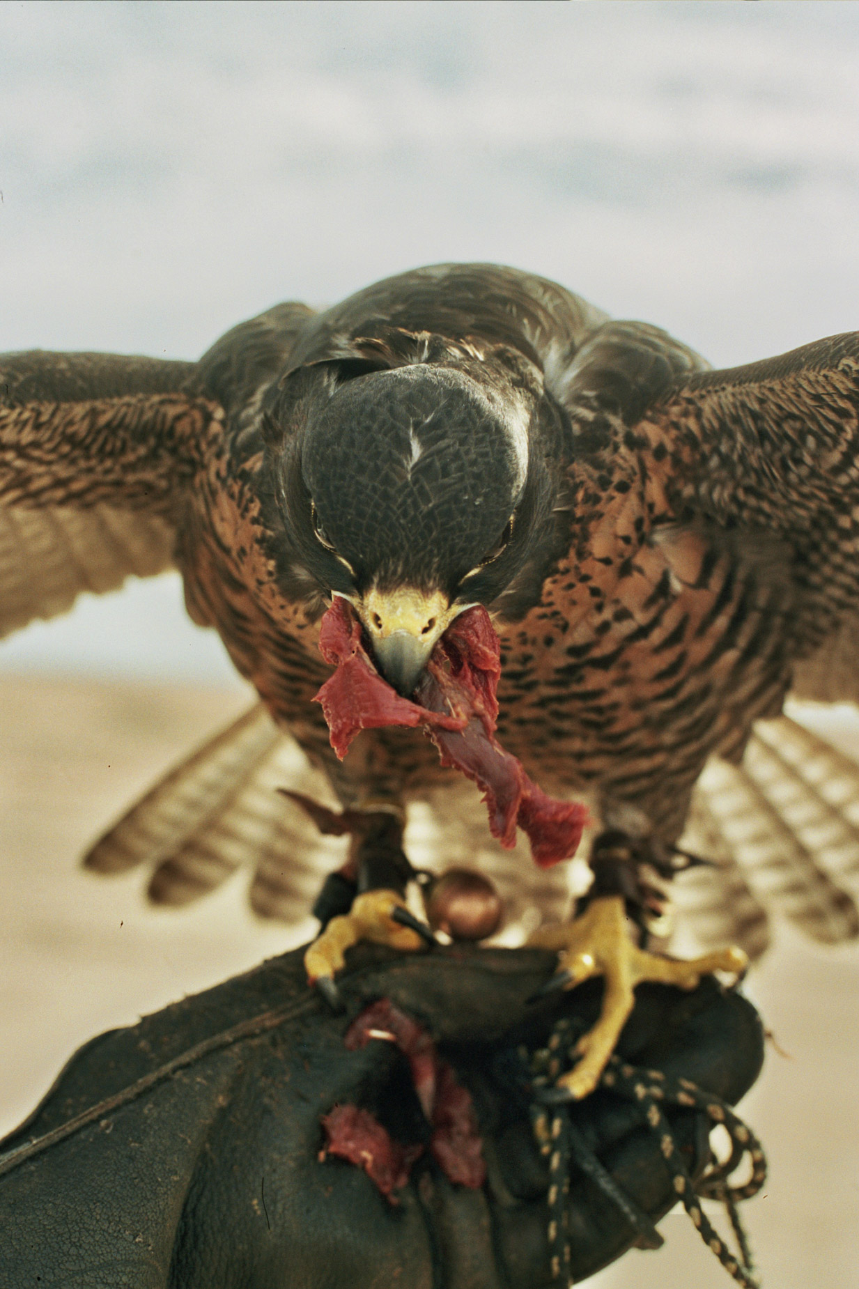 alex_aristei_Falconry_022